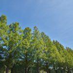 青空と林立する木