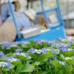 チリンチリンアイスと紫陽花