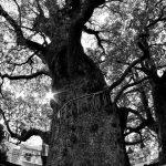 巨大な木白黒