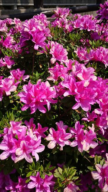 大村市玖島の公園に咲いていたつつじの花