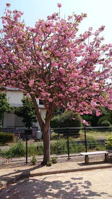 大村市桜馬場公園に咲くオオムラザクラ