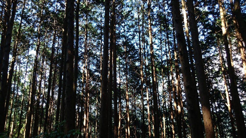 諌早市のとある山の中、林立する木立に透かして青空が見える光景