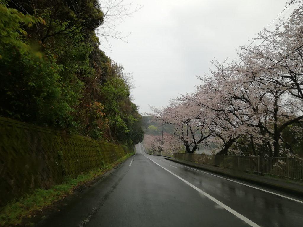 雨の中、桜が咲き誇る諌早市多良見町の道路